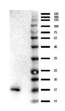 Western blot - Anti-TNF alpha antibody (ab34674)