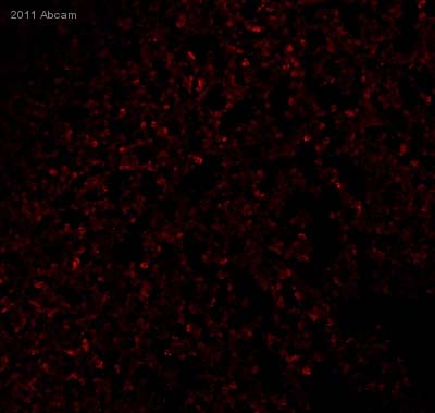Immunohistochemistry (Frozen sections) - Anti-Collagen II antibody (ab34712)