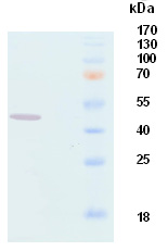 Western blot - Anti-Hamster Polyoma virus major capsid protein VP1 antibody [9F11] (ab34755)