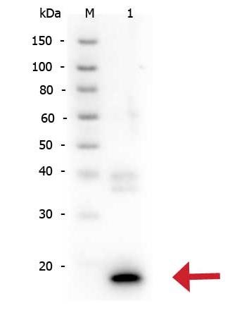 Western blot - Anti-IL10 antibody (ab34843)