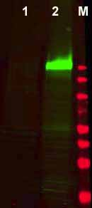 Western blot - Anti-EGFR (phospho Y1173) antibody (ab34901)