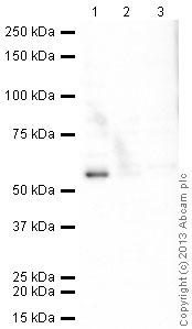 Western blot - Anti-Artemis antibody (ab35649)