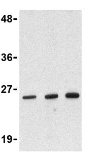 Western blot - Anti-DEDD2 antibody (ab36858)