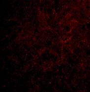 Immunocytochemistry/ Immunofluorescence - Anti-CTRP6 antibody (ab36900)