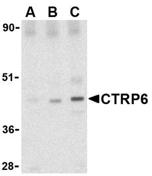 Western blot - Anti-CTRP6 antibody (ab36900)