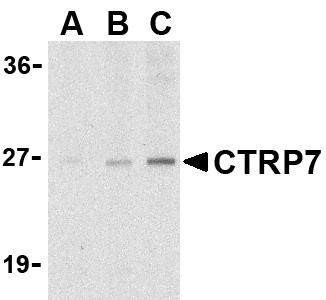 Western blot - Anti-CTRP7 antibody (ab36901)