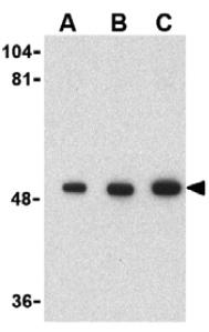 Western blot - Anti-PIST antibody (ab37036)