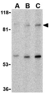 Western blot - Anti-TLR5 antibody (ab37071)