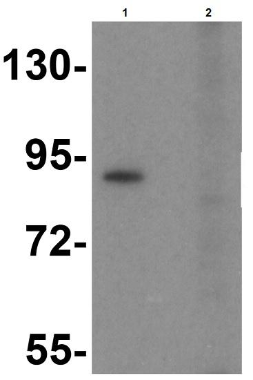 Western blot - Anti-TLR6 antibody (ab37072)
