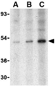 Western blot - TRAF2 antibody (ab37119)