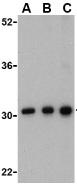 Western blot - Anti-BAP31 antibody (ab37120)