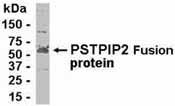 Western blot - Anti-PSTPIP2 antibody (ab37342)
