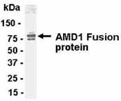 Western blot - Anti-AMD1 antibody (ab37387)
