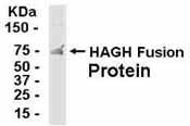 Western blot - Anti-HAGH antibody (ab37432)