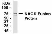 Western blot - Anti-N acetylglucosamine kinase antibody (ab37579)