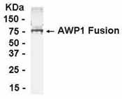 Western blot - Anti-ZA20D3 antibody (ab37613)
