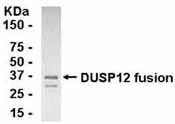 Western blot - Anti-DUSP12 antibody (ab37682)