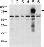 Western blot - Anti-PAK5 antibody (ab37753)