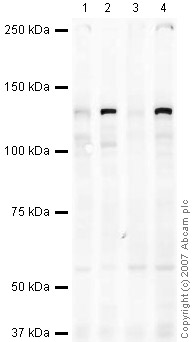 Western blot - Anti-Eg5 antibody (ab37814)