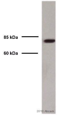 Western blot - Anti-DCAMKL1 antibody (ab37994)