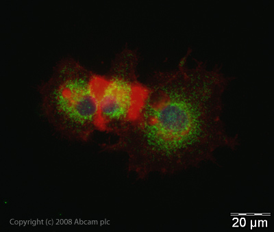 Immunocytochemistry/ Immunofluorescence - Anti-CaMKI gamma antibody (ab38132)