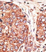 Immunohistochemistry (Formalin/PFA-fixed paraffin-embedded sections) - Anti-MSF antibody (ab38314)