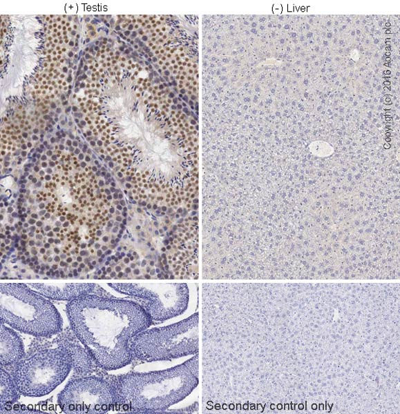 Immunohistochemistry (Formalin/PFA-fixed paraffin-embedded sections) - Anti-REC8 antibody (ab38372)