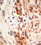 Immunohistochemistry (Formalin/PFA-fixed paraffin-embedded sections) - Anti-PHO1 antibody (ab38641)