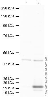 Western blot - Anti-Pax2 antibody (ab38738)