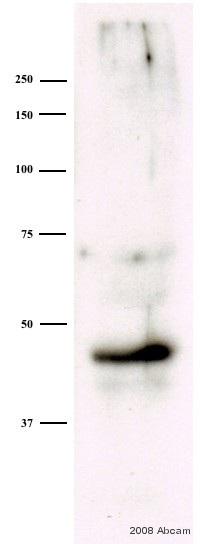 Western blot - MEK4 (phospho S80) antibody (ab39403)
