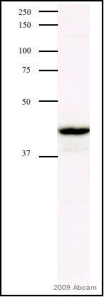 Western blot - Anti-MEK4 antibody (ab39648)