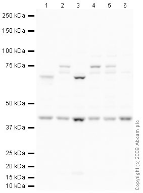 Western blot - Anti-Nodal antibody (ab39953)