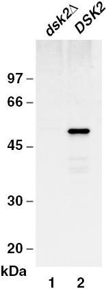 Western blot - Anti-Dsk2 antibody (ab4119)