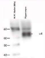 Western blot - Anti-GABA A Receptor alpha 4 antibody (ab4120)