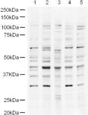 Western blot - Anti-UBP43 antibody (ab4188)