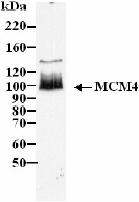 Western blot - Anti-MCM4 antibody (ab4459)