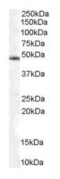 Western blot - Anti-TRIP15 antibody (ab4537)