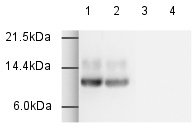 Western blot - Anti-Histone H4 (acetyl K91) antibody - ChIP Grade (ab4627)