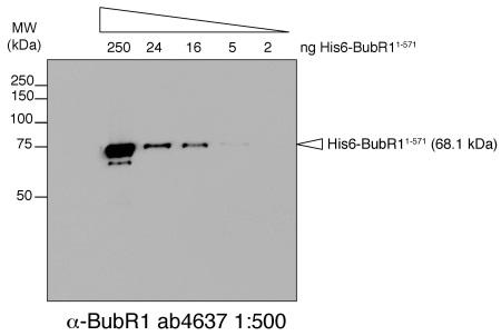 Western blot - Anti-BubR1 antibody [8G1] (ab4637)