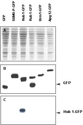 Western blot - Anti-Hub1 antibody (ab4754)
