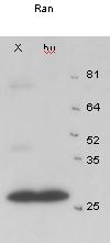 Western blot - Anti-Ran antibody (ab4781)