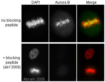 Immunocytochemistry/ Immunofluorescence - Anti-Ran antibody (ab4781)