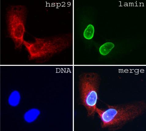 Immunocytochemistry/ Immunofluorescence - Anti-Lamin A + C antibody [JoL3] - Nuclear Envelope Marker (ab4789)