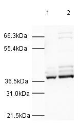 Western blot - Anti-hnRNP A1 antibody (ab4791)