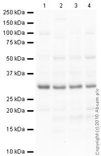 Western blot - Anti-14-3-3 epsilon antibody - Carboxyterminal end (ab40117)