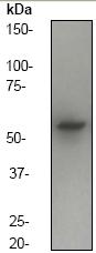 Western blot - Anti-alpha Internexin antibody [EP676Y] (ab40758)