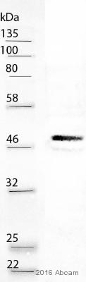 Western blot - Anti-CEBP Alpha antibody [EP709Y] (ab40764)