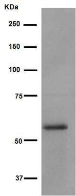 Western blot - Anti-Smad3 antibody [EP568Y] (ab40854)