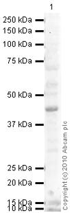 Western blot - FOXA1 antibody [2F83] (ab40868)