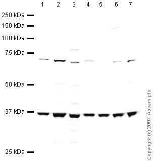 Western blot - Anti-EIF3S2 antibody (ab41641)